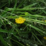 Butterflower and wet grass